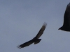 2012-0227-turkey-buzzard-header-2