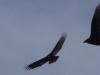 2012-0227-turkey-buzzard-header-2