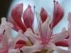 2012-0324-wild-azalea-header