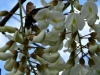 2012-0407-bee-locust-tree-header