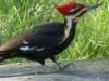 2012-0413-pileated-woodpecker-header
