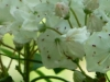 2012-0429-mountain-laurel-header