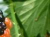 2012-0603-blackberries-header