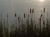 2012-0606-cattails-header