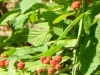 2012-0609-blackberries-header