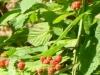 2012-0609-blackberries-header