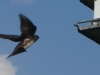 2012-0616-purple-martin-header-3