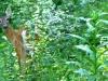 2012-0811-deer-understory-header