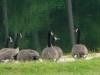 2012-0818-canada-geese-header