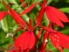 2012-0821-cardinal-flower-header