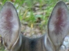 2012-0915-deer-ears-header