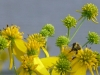 2012-0919-bee-wildflowers-header