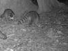 2012-0922-raccoons-header