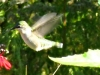 2012-0923-cardinal-flower-hummingbird-header
