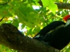2012-1017-pileated-woodpecker-header