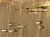 2012-1202-canada-geese-header-2