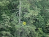 2017 1007 blue heron tree.jpg