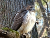 2014-0112-hawk-facing-forward