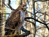 2014-0112-hawk-on-second-tree