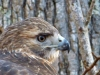 2014-0112-hawk-profile