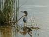2018 0813 little green heron 3.jpg