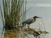 2018 0813 little green heron 5.jpg
