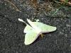 2013-0727-luna-moth