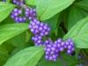 2019 0831 beautyberry bush.JPG