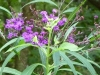 2011-0902-ironweed-cropped