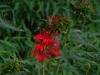 2012-0809-cardinal-flower-pm-2