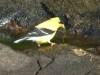 2014-0831-goldfinch-algae-2