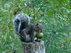 2012-0922-squirrel-hickory-nut-pm.jpg