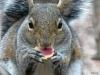 2013-0329-squirrel-eating-acorn.jpg