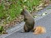 2014-0613-red-squirrel.jpg