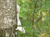 2016-1106-piebald-squirrel.jpg