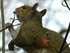 2016-1127-squirrel-dogwood-bud.jpg