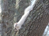 P1600240-2017-02-24-white-squirrel-2187x1640.jpg