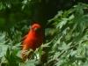 2013-0505-scarlet-tanager-5