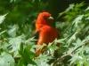 2013-0505-scarlet-tanager-7