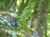 2015 0514 3 cedar waxwing mahonia berries good 3.JPG