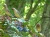 2015 0514 cedar waxwings mahonia 6.JPG