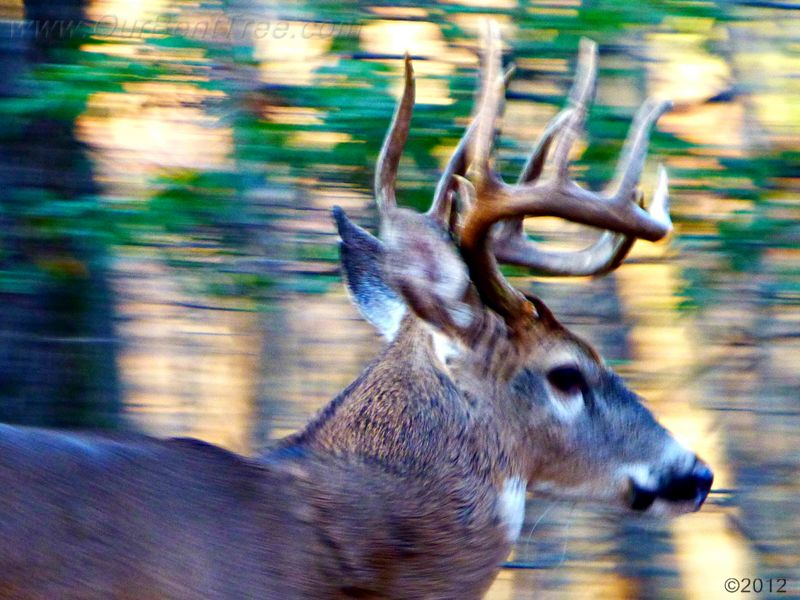 November 17, 2012 - buck in Bent Tree