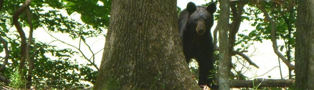 Black Bear in Bent Tree