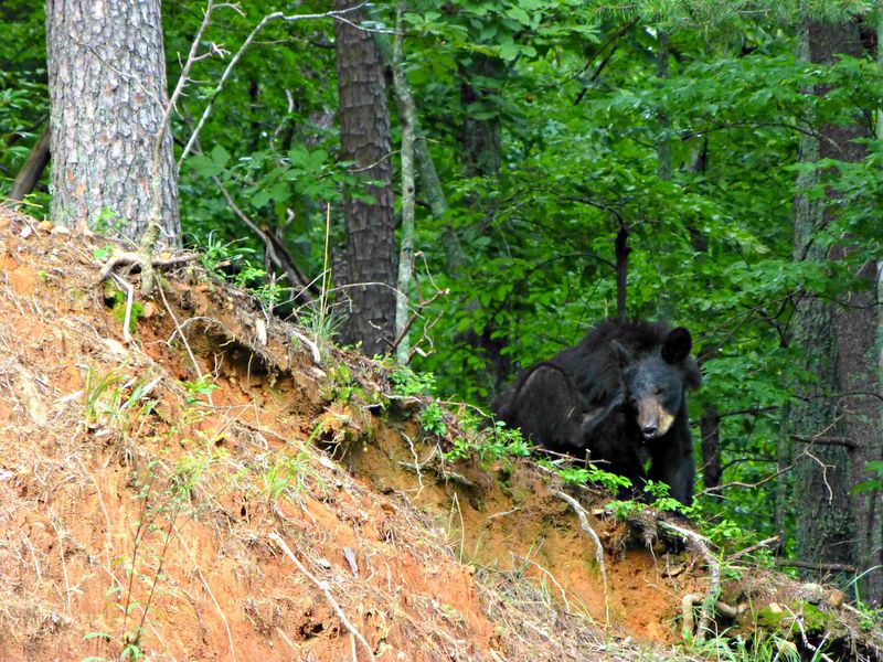 The bear sat up, scratched his ear, then ambled on through the woods.