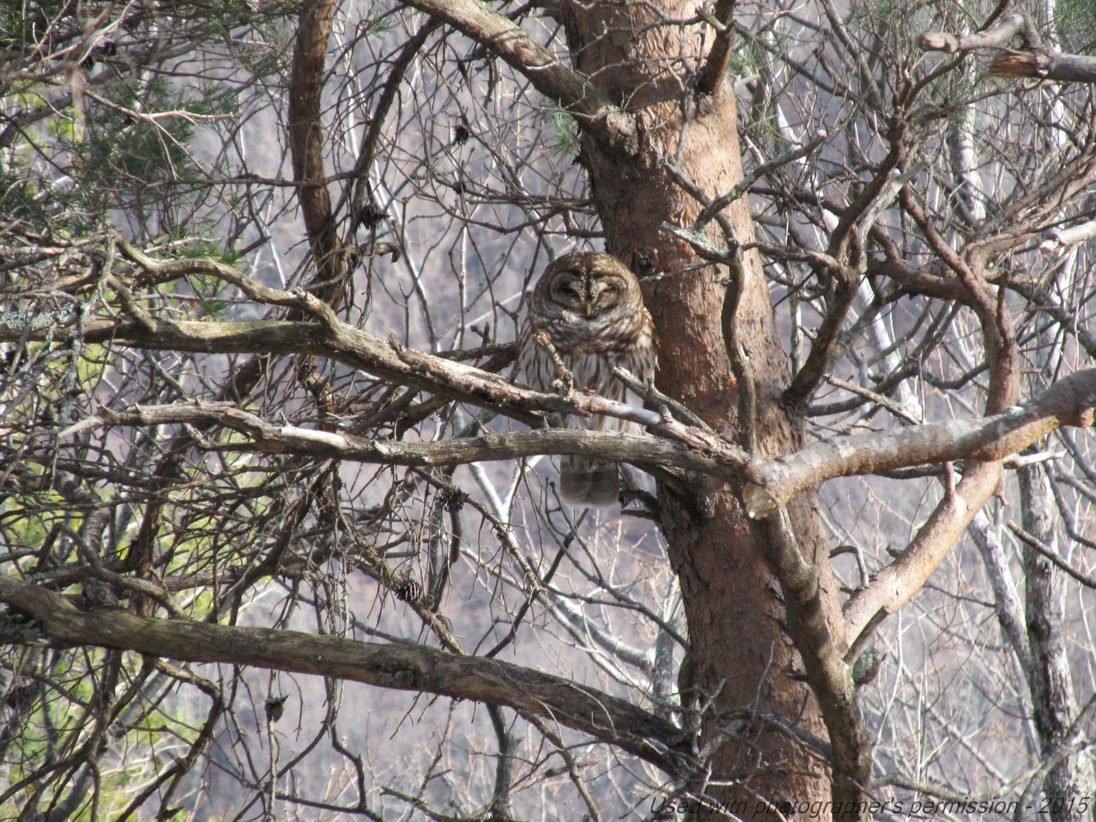 February 20, 2015 - Barred Owl in Bent Tree