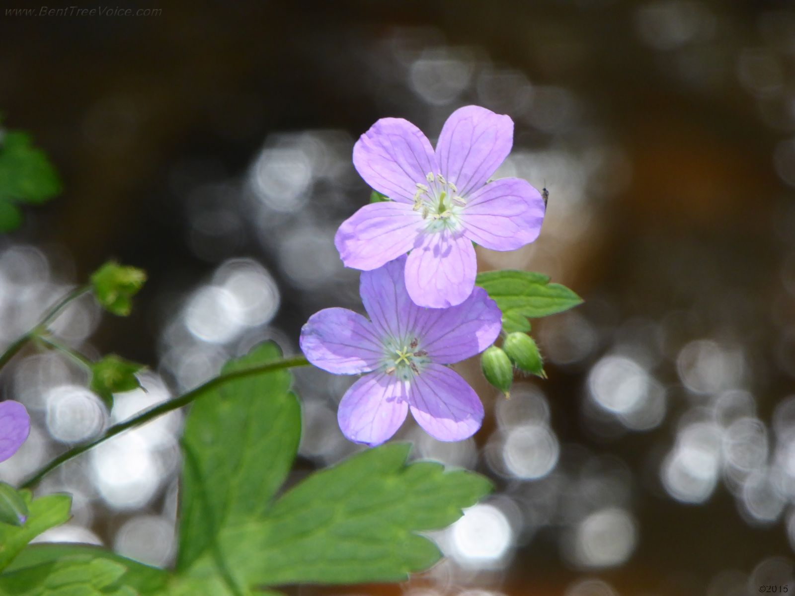 April 24, 2015 - Wild Geranium in Bent Tree