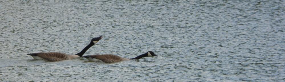 cropped-P1150214-2015-0422-honking-geese1.jpg