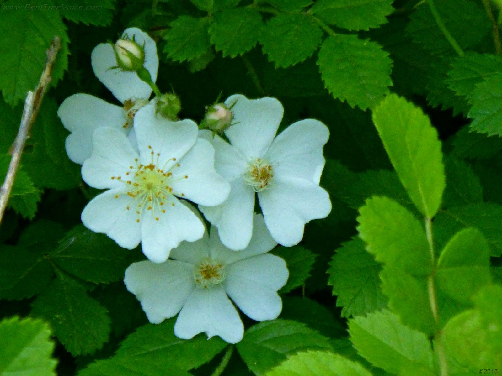 May 5, 2015 - Cherokee Rose blooming in Bent Tree