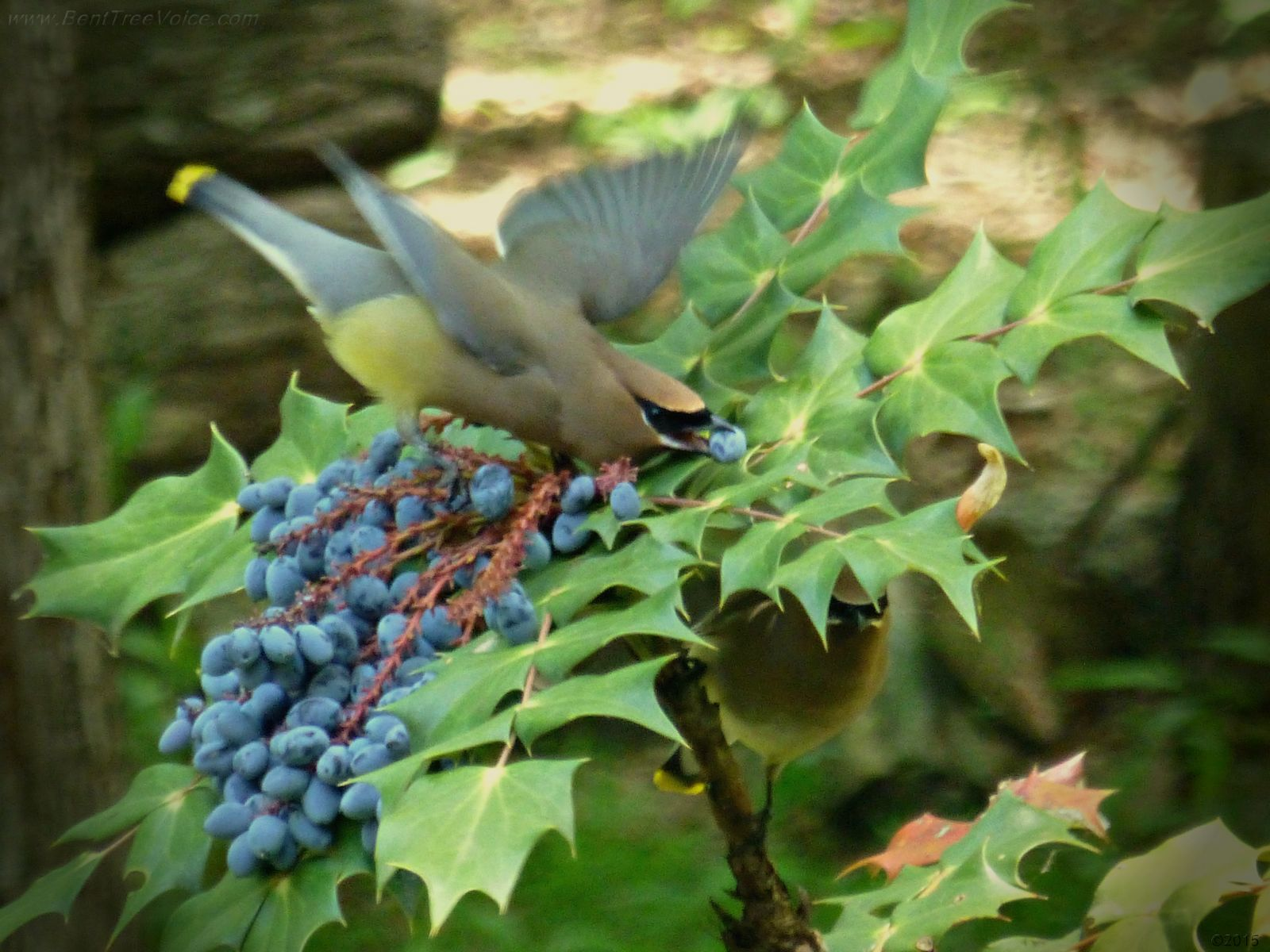 May 14, 2015 - Cedar Waxwing with mahonia berry