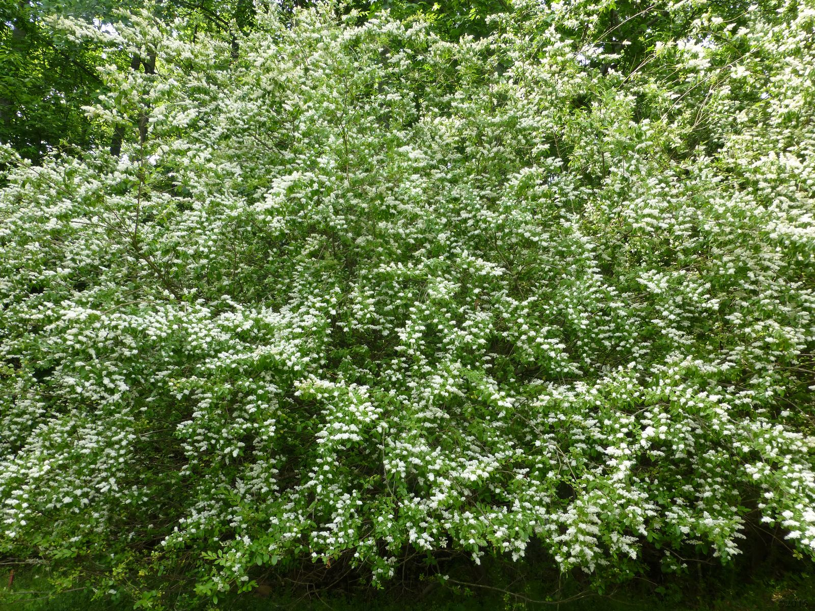 May 16, 2015 - stand of Chinese privet in Bent Tree